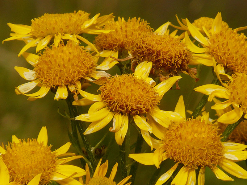 The Homeopathy Series: What is Homeopathic Medicine? Featured Remedy – Arnica Montana